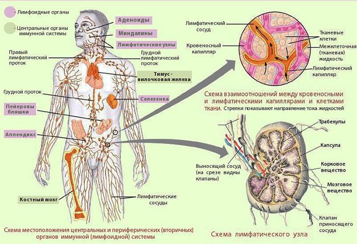 травы от грибка в организме человека